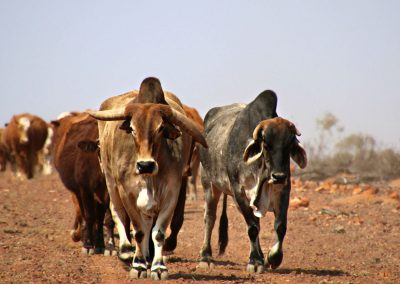 The Bush Store Cattle